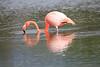Lesser_Flamingo_0027