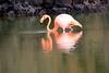 Lesser_Flamingo_0046