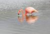 Lesser_Flamingo_0018