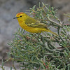 YellowWarbler (3)