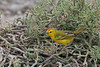 YellowWarbler (2)