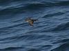 AudubonsShearwater01