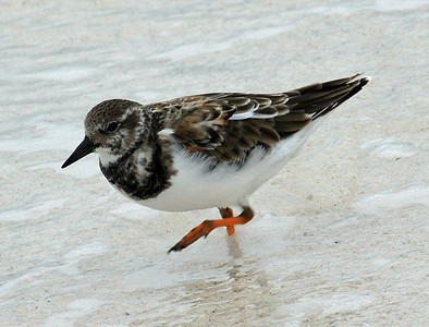 Turnstone, Ruddy DSC01943ed