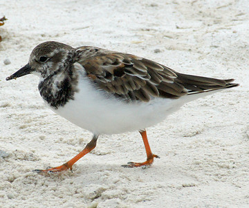 Turnstone, Ruddy DSC01999ed