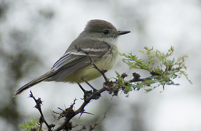 Flycatcher, Galapagos DSC01070ed