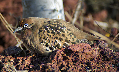 Dove, Galapagos DSC01291ed