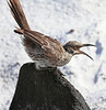 Espanola Mockingbird-4