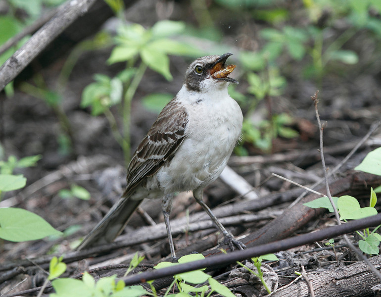 GalapagosMockingbird-7