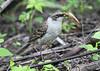 GalapagosMockingbird-4