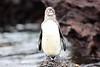 Galapagos_Penguin__0044