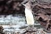 Galapagos_Penguin__0050