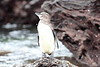 Galapagos_Penguin__0052