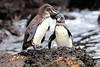 Galapagos_Penguin__0028