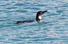 Galapagos Penguin 3-1