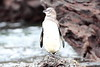 Galapagos_Penguin__0040
