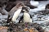 Galapagos_Penguin__0024