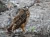 Short-eared Owl Galapagos