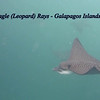 Spotted Eagle Rays.  Wow and OMG.