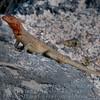 Female Lava Lizard-Isla Espańola-Galapagos