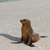 Galapagos Sea Lion Poses-Isla Espańola-Galapagos