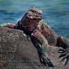 Marina Iguana Portrait-Isla Espańola-Galapagos