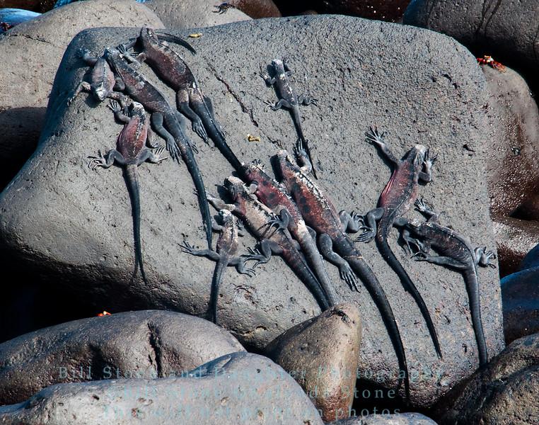 A group of marine iguanas sun themselves-Isla Espańola-Galapagos