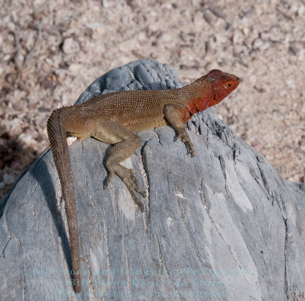 Female Lava Lizard -Isla Espańola-Galapagos