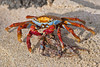 Sally Lightfoot Crab eating squid