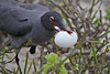 Circle of Life! Swallow-tailed Gull with Frigatebird Egg after it had rolled out of nest onto sand