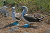 2 Blue-footed Boobies looking as they do their mating dance