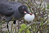 Swallow-tailed Gull stealing Frigatebird egg after rolling out of nest