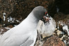 Swallow-tailed Gull feeding chick