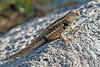 Lava Lizard Close-up