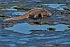 Marine Iguana eating sea weed