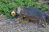 Land Iguana carrying cactus to eat