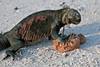 Recycling ~ Marine Iguana eating poop