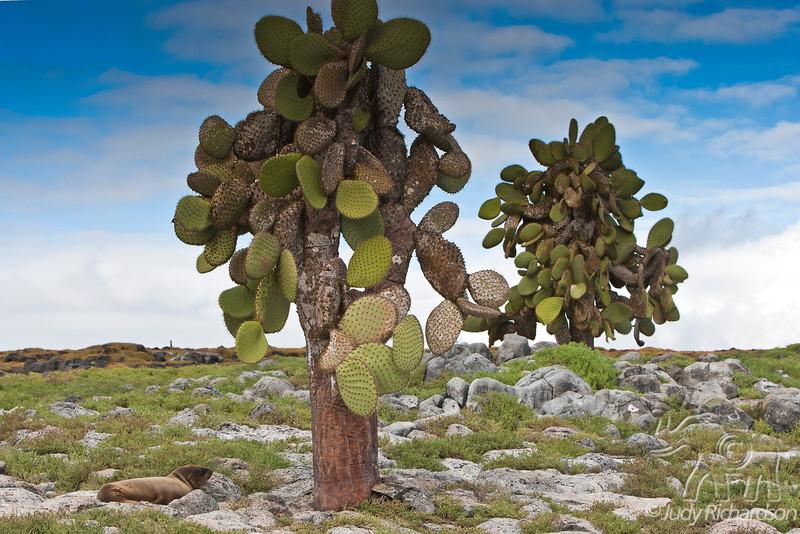 Cactus with sea lion beneath on South Plaza Island