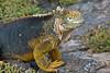 Large Land Iguana