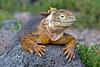 Land Iguana taking in heat on rock