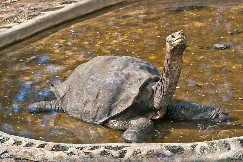 Lonesome George in pond ~ Pinta giant tortoise