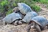 Giant Tortoises Climbing