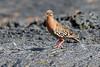 Galapagos_Pigeon__0006