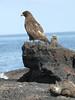 GalapagosHawk