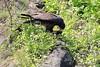 Galapagos_Hawk_With_Lizard__0006
