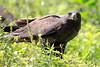 Galapagos_Hawk_With_Lizard__0030