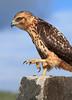 Galapagos Hawk-1