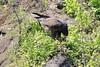 Galapagos_Hawk_With_Lizard__0052