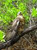 Immature Galapagos Hawk