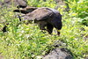 Galapagos_Hawk_With_Lizard__0028