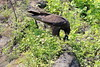 Galapagos_Hawk_With_Lizard__0056